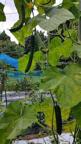 20170908野菜畑キュウリ