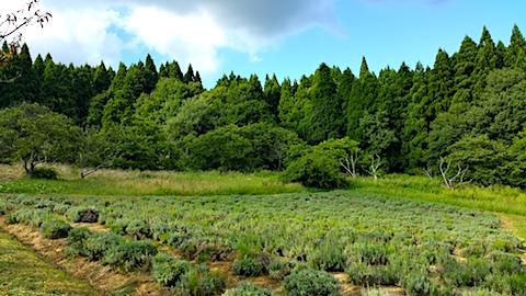 20170908ラベンダー畑の様子