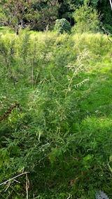 20170908栗畑の下草刈り前の様子2