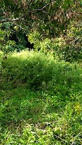 20170908栗畑の下草刈り前の様子4