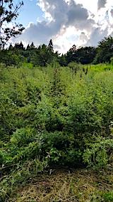 20170908栗畑の下草刈り前の様子5