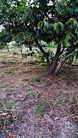 20170908栗畑の下草刈り後の様子1
