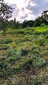 20170908栗畑の下草刈り後の様子5