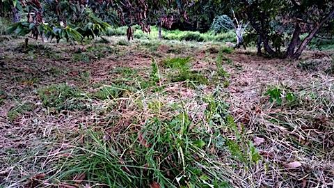 20170908栗畑の下草刈り後の様子7