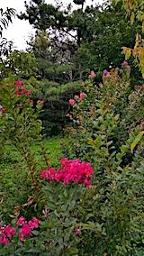 20170908サルスベリの花