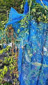 20170910野菜畑トマトのネット