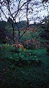 20170910栗の木が立ち枯れ