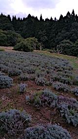 20170913栗畑の下草刈り後とラベンダー畑の様子2