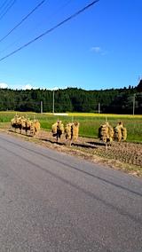 20170915秋田市で稲刈り始まる2