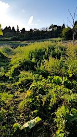 20170915栗畑の下草刈り前の様子3