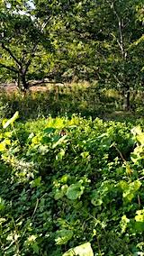 20170915栗畑の下草刈り前の様子4