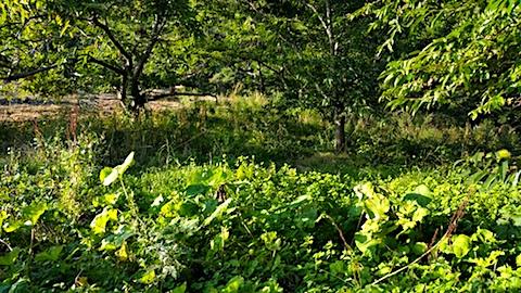 20170913栗畑の下草刈り前の様子3