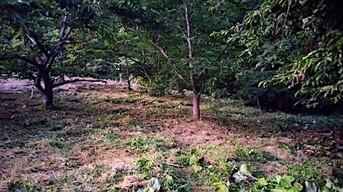 20170915栗畑の下草刈り後の様子5
