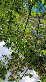 20170916野菜畑の様子またしても小動物が1