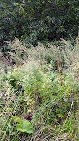 20170916栗畑の下草刈り前の様子3