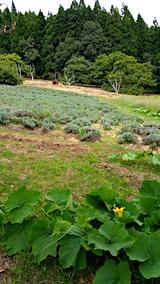 20170917カボチャ畑とラベンダーの畑