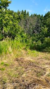 20170919栗畑の下草刈り前の様子朝3