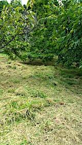 20170919栗畑の下草刈り後の様子朝5