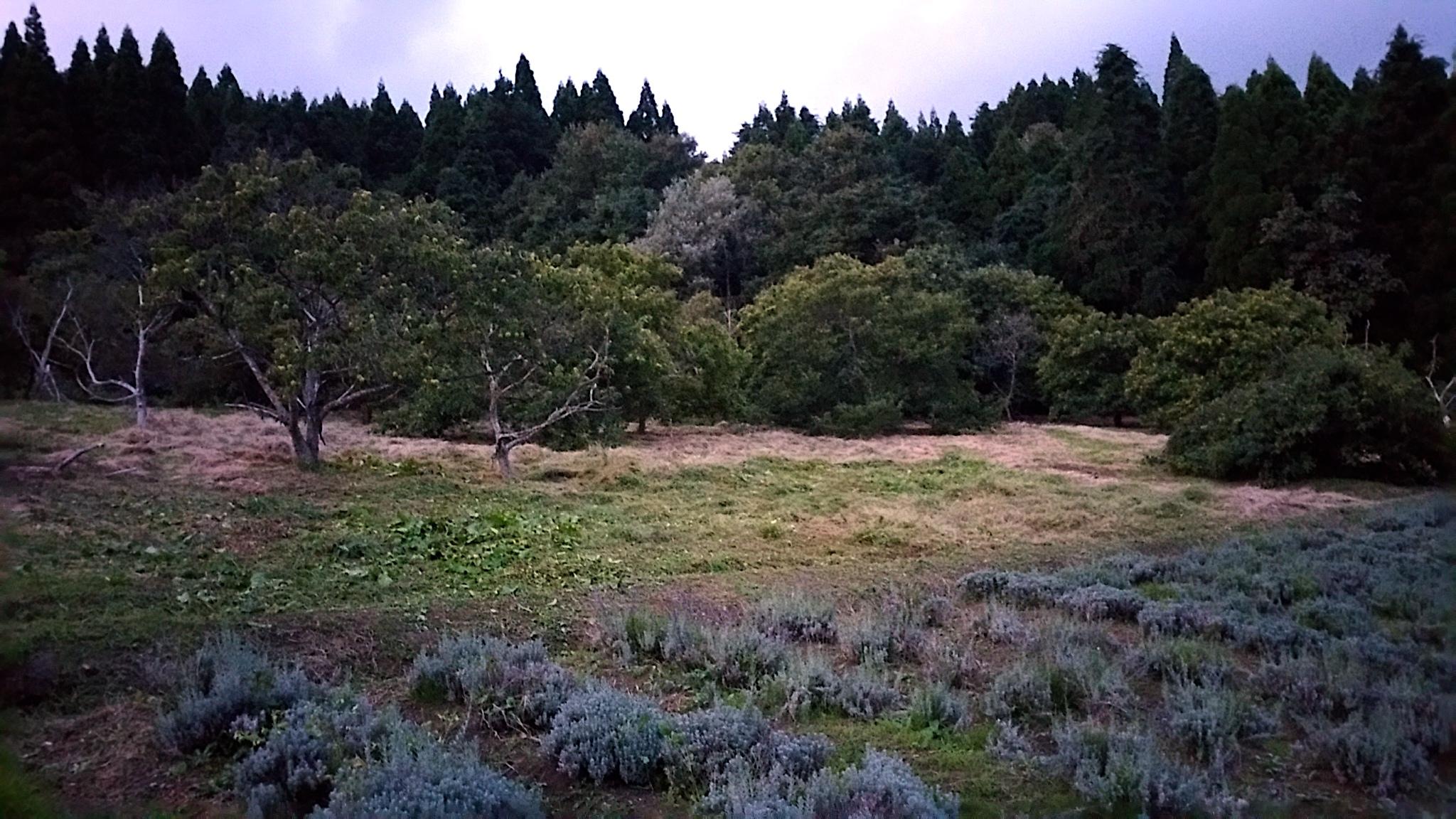 20170919栗畑の下草刈り後の様子夕方4