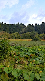 20170920カボチャ畑とラベンダー畑の様子