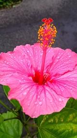 20170920昼過ぎ雨に濡れたハイビスカスの花