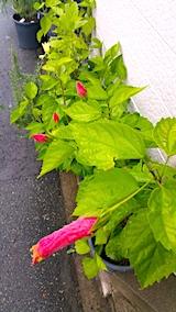 20170928冷たい雨に濡れて開花が足踏み