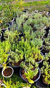 20171001鉢植えラベンダー選定前1