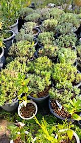 20171001鉢植えラベンダー選定後2