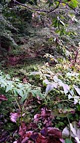20171001栗畑の下草刈り前の様子1