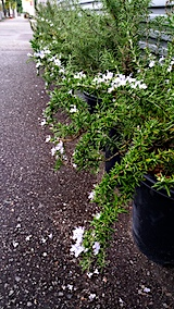20171010外の様子朝ローズマリーの花