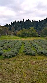 20171018ラベンダーの下草刈り前の様子1