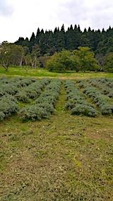 20171018ラベンダーの下草刈り後の様子1