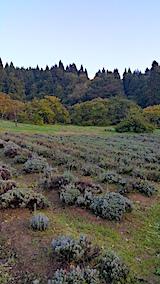 20171024ラベンダーの畑