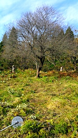 20171024柿の木周辺の草刈り前後3