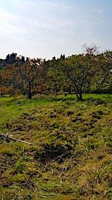20171024柿の木周辺の草刈り前6