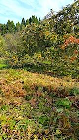 20171024柿の木周辺の草刈り後4