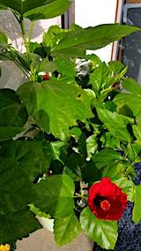 20171027外の様子昼過ぎハイビスカスの花