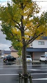 20171030外の様子朝イチョウの木