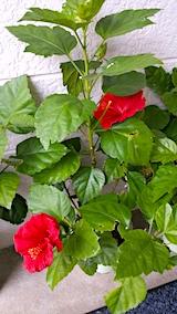 20171030外の様子朝ハイビスカスの花