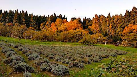 20171107ラベンダー畑の様子