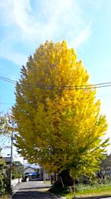 20171110会津イチョウの木2