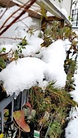 20171121雪の下になったハーブ