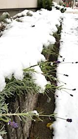 20171121雪の下になった早咲きラベンダーこいむらさき