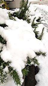 20171121雪の下になったローズマリー