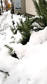 20171121雪の下になったお隣さんのラベンダーとローズマリー