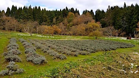 20171127ラベンダー畑の様子1