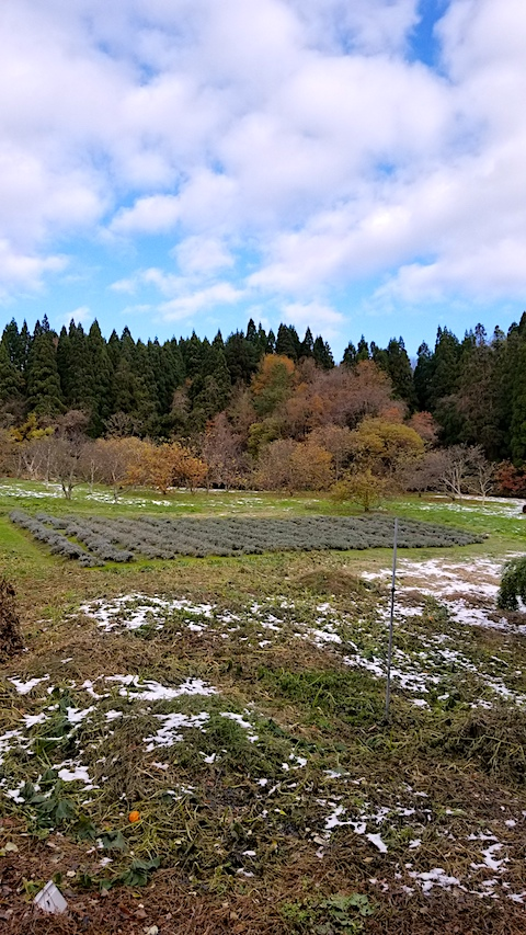 20171127ラベンダー畑の様子2