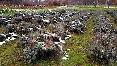 20171202刈り込み前のラベンダー畑