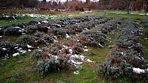 20171202刈り込み後のラベンダー畑