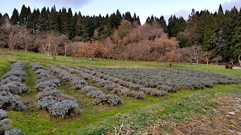 20171208ラベンダーの畑
